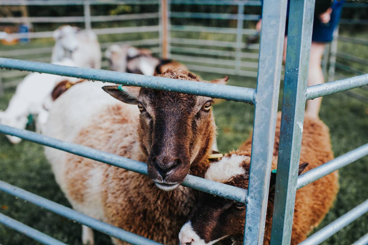 sheep and petting zoo at wedding